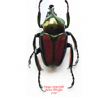 Phaedimus lydiae (Philippines)