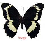Papilio bridgei (Makira, Solomons)