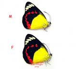 Delias timorensis moaensis (Moa)
