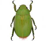 Chrysina beraudi (Costa Rica) A2