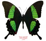 Achillides palinurus daedalus (Philippines)