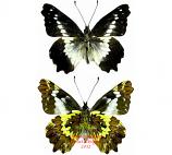 Leodonta dysoni (Peru)
