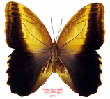 Caligo memnon telamonius (Colombia) A1 and A2