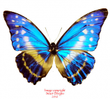 Morpho cypris lelargei/crysonicus (Ecuador) A1-