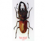 Cyclommatus lunifer (Malaysia)