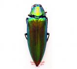 Chrysochroa weyersi (Malaysia)