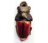 Odontolabis gazella (Malaysia)