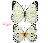 Belenois calypso (RCA) A2