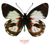 Delias argentata (Irian) A2