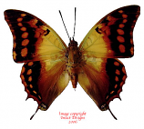 Charaxes candiope (RCA)
