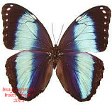 Morpho achilles (Peru) A1 and A-