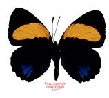 Callicore aegina (Peru)