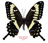 Papilio ophidicephalus (Tanzania)
