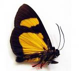 Arctiidae sp. 2 (Peru) A-