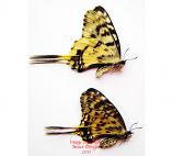 Sericinus telamon koreanus - rare variation (Korea) A-