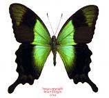 Papilio peranthus transiens (Bali)