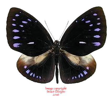 Euploea westwoodi (Sulawesi)