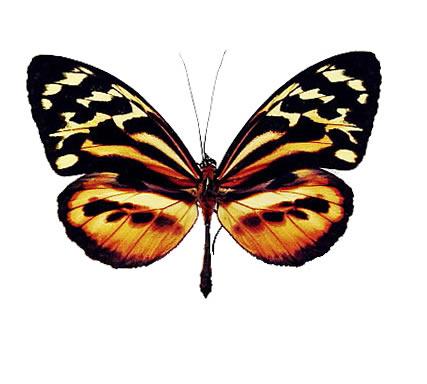 Ithomidae