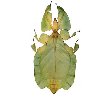 Leaf Insects