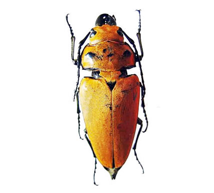 Trictenotomidae