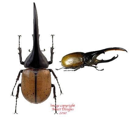 Dynastes hercules lichyi (Colombia)