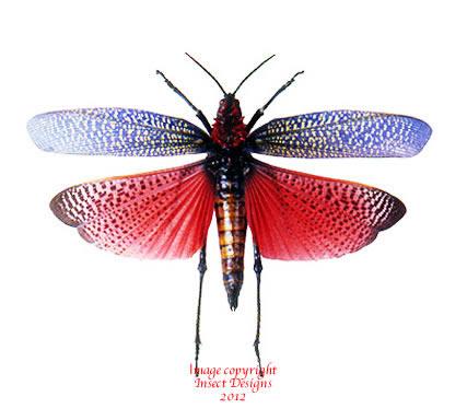 Phymateus saxosus (Madagascar) A2