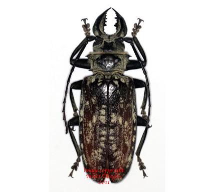 Acanthophorus maculatus (Tanzania)