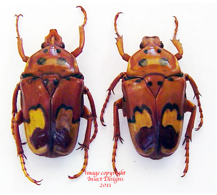Anisorrhina laeviplaga (Tanzania) A2