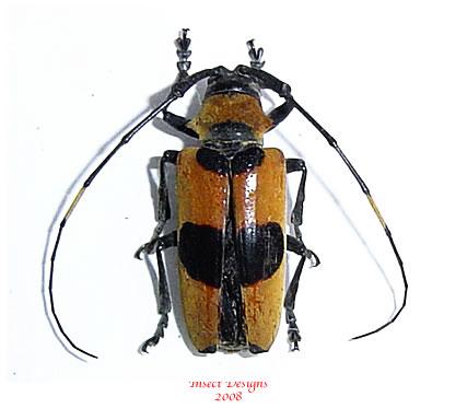 Cereopsius praetorius (Philippines)
