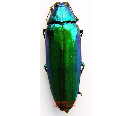 Chrysochroa wallacei (Malaysia) A2