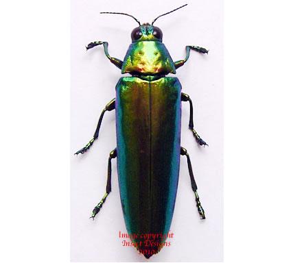 Chrysochroa chrysula (Philippines)
