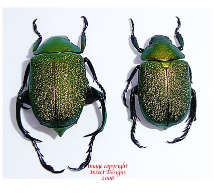 Chrysophora chrysochlora (Ecuador) - males only