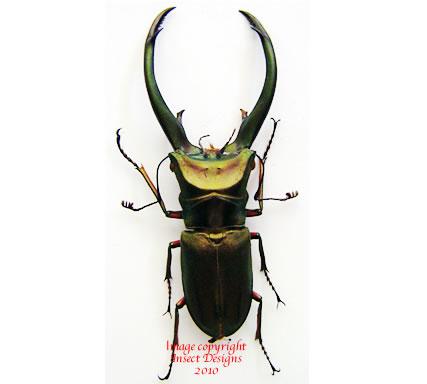 Cyclommatus elaphus truncatus (Sumatra) A2