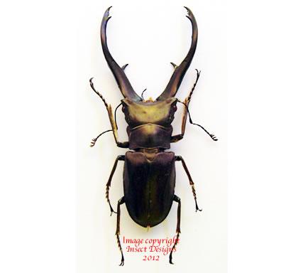 Cyclommatus imperator (PNG)