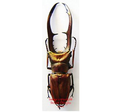 Cyclommatus metallifer (Sulawesi)