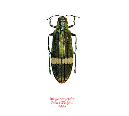 Demochroa gratiosa (Malaysia)