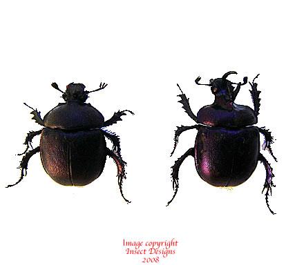 Enoplotrupes sharpi (Thailand) - pair