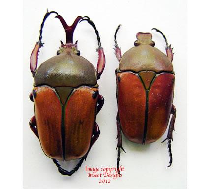 Eudicella smithi? (Rwanda)