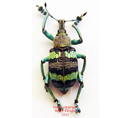 Eupholus magnificus (Wamena) A2