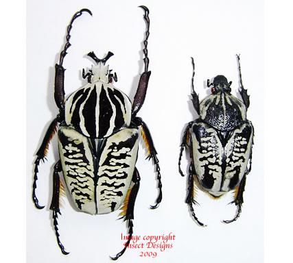 Goliathus albosignathus (Tanzania)