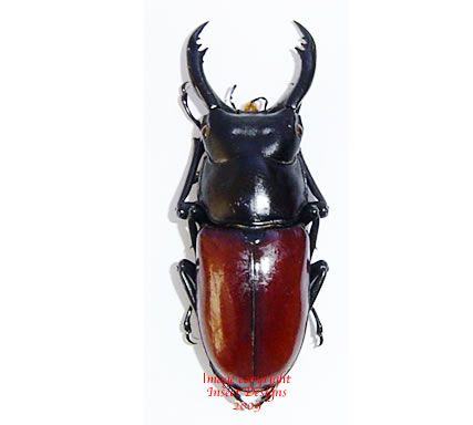 Hemisodorcus arrowi (Thailand)