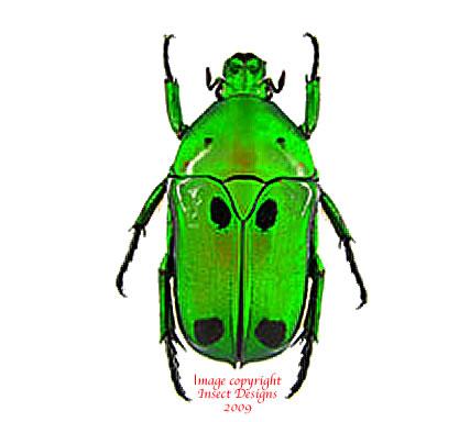Heterrorhina sexmaculata (Malaysia)