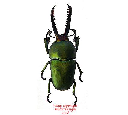 Lamprima aldoiphinae (Arfak)