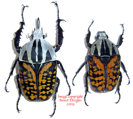 Mecynorrhina oberthuri decorata (Tanzania) A2