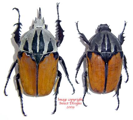 Mecynorrhina oberthuri unicolor (Tanzania) A2