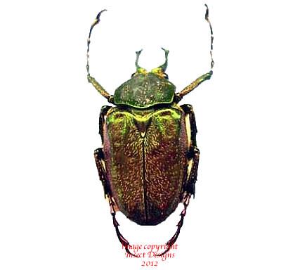 Mycteristes tibetanus (Thailand)
