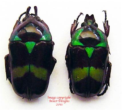 Mystroceros macleayi - green (Malaysia)