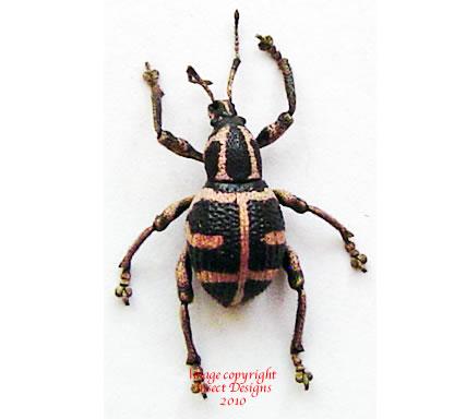Neopyrgops banksii (Philippines)