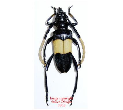 Pachyteria dimidiata (Thailand) A2
