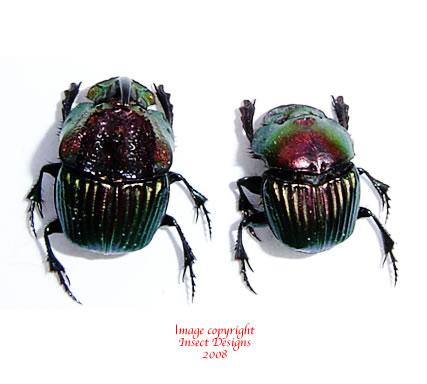 Phanaeus tridens (Mexico)